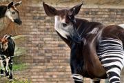 اوکاپی:عجیب وغریب جانور