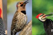 کُھٹ بڑھئی:انسان دوست پرندہ