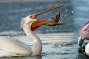 پیلی کن(حواصل):مچھلی خورپرندہ